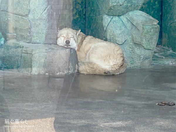 天王寺動物園 おおかみ